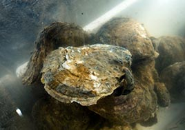 An oyster rests underwater.