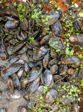 Basket of freshwater mussels from the Anacostia River