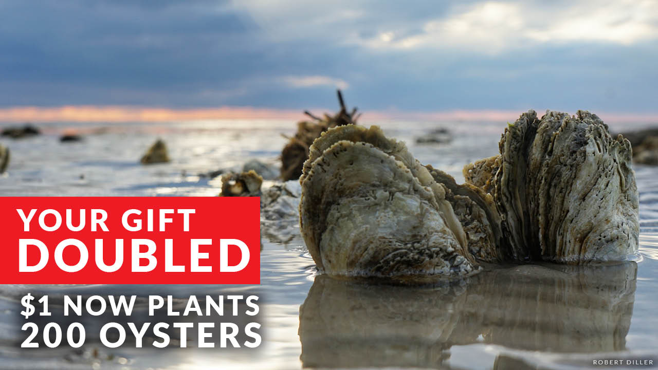 Your Gift Doubled. $1 now plants 200 oysters! Photo Credit: Bob Diller.