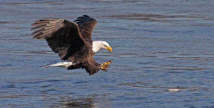 Bald-Eagle-About-to-Grab-A-ShadBillMiles_695x352.jpg