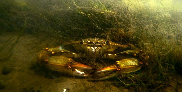 Blue-Crab-in-Widgeon-Grass-Bed--Jay-Fleming-2010_695x352.jpg