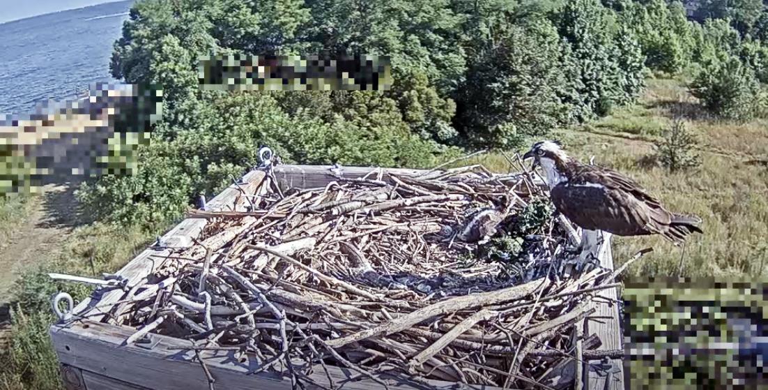 Baby Osprey on Webcam