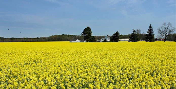 blooming rapeseed oil virginia 695x352