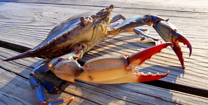 blue-crab-dfodge-maryland.jpg
