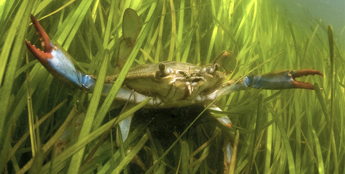 crab in grasses
