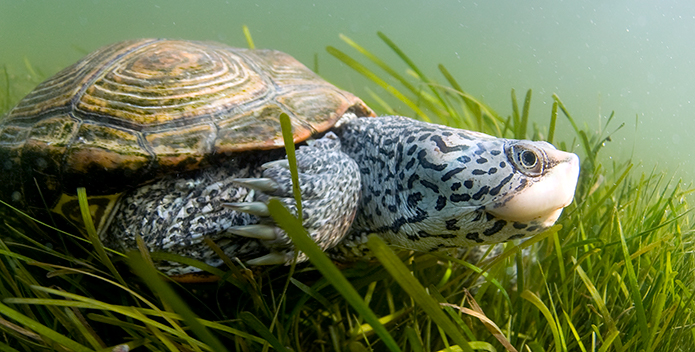 Diamondback Terrapin © Jay Fleming