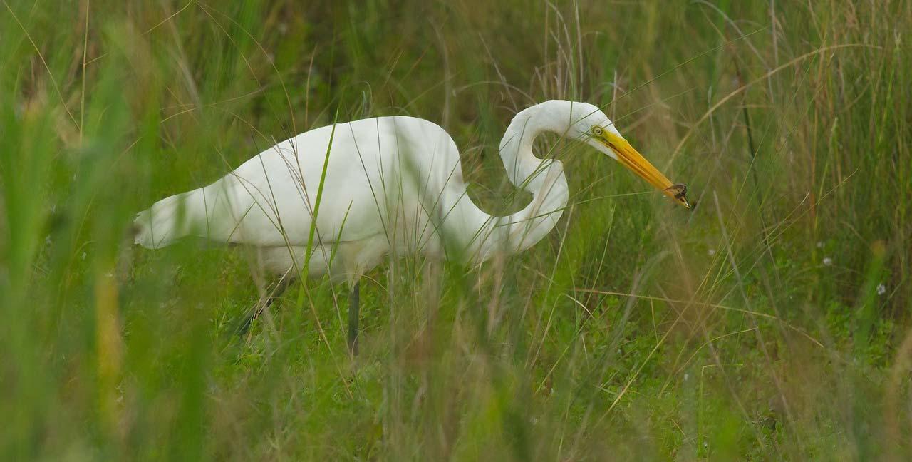Egret eating northern water snake