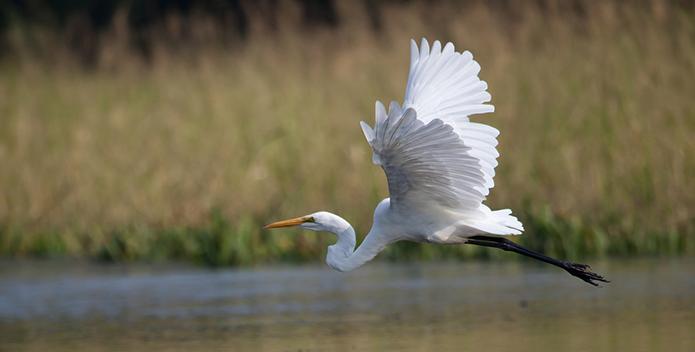 Egret in Flight - Krista Schlyer/iLCP