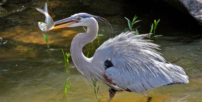 heron fish