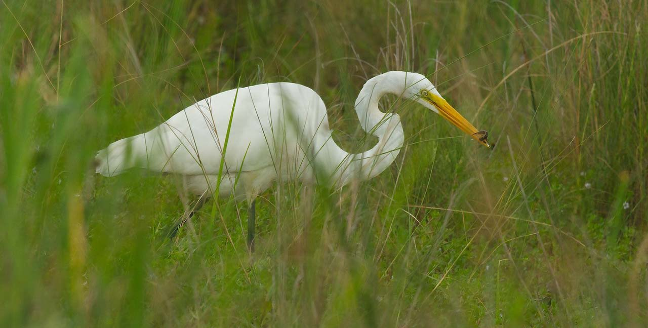 Photo of an egret eating a juvinille northern water snake.