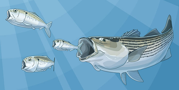 menhaden-illustration-w-striper_PewCharitableTrusts_695x352.jpg