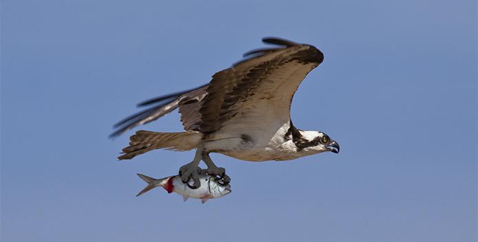 menhaden-osprey