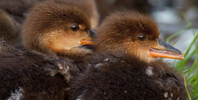merganser-chicks-NickTucey_695x352.jpg