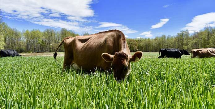 Nice Farms Cow 695x352