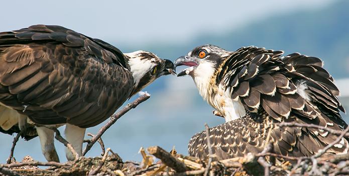 osprey feeding 695x352