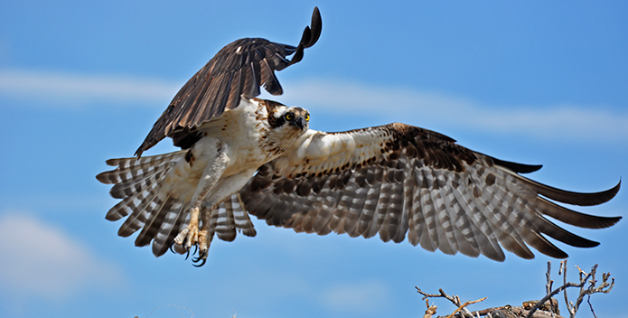 osprey-jdelgarno-maryland-wildlife_695x352.png