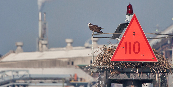 osprey-overlooks-chemical-plant_KristaSchlyer/iLCP_695x352