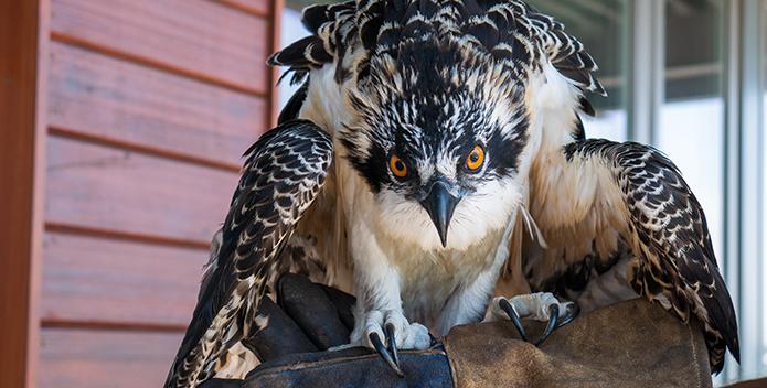 osprey saved-wyatt young-695x352