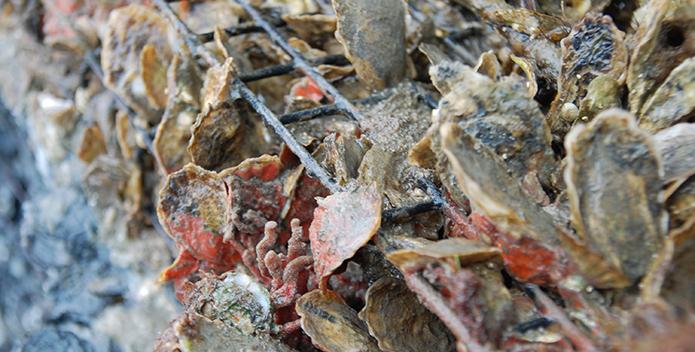oyster farming 695x352