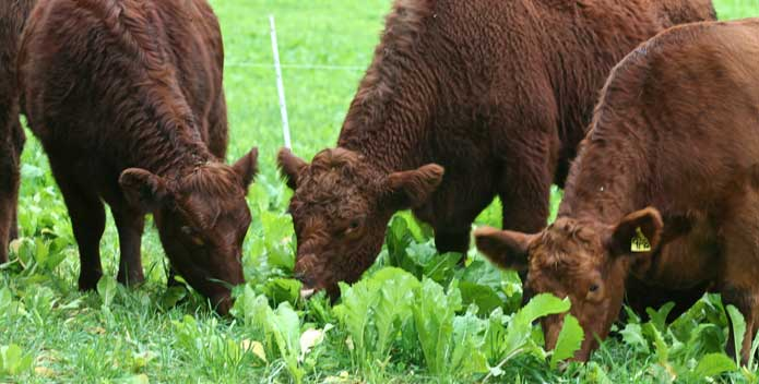 pasture-finishing-beef-on-forage-brassicas_CBFStaff_695x352.jpg