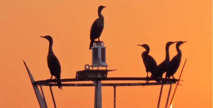 Image of several cormorants at sunset.