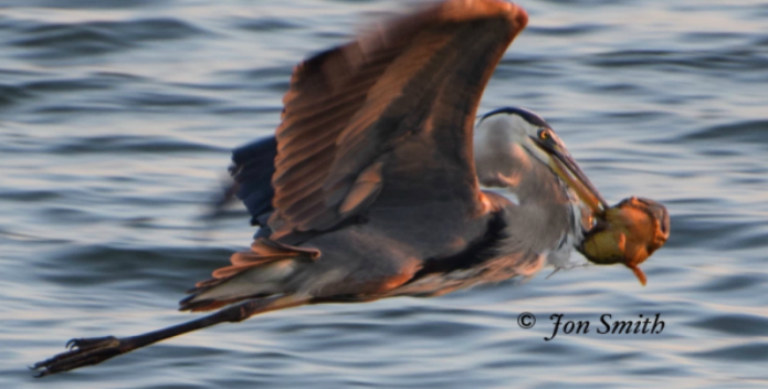 Image of a heron in flight with toadfish in beak.