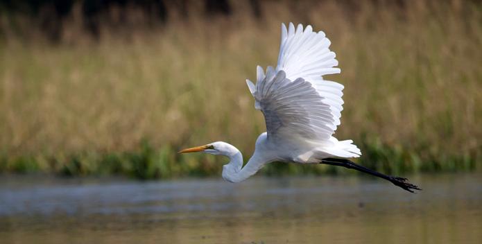Image of an egret taking flight.