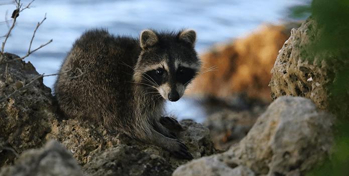 raccoon along river- cautrok77, FlickrCC - 695x352
