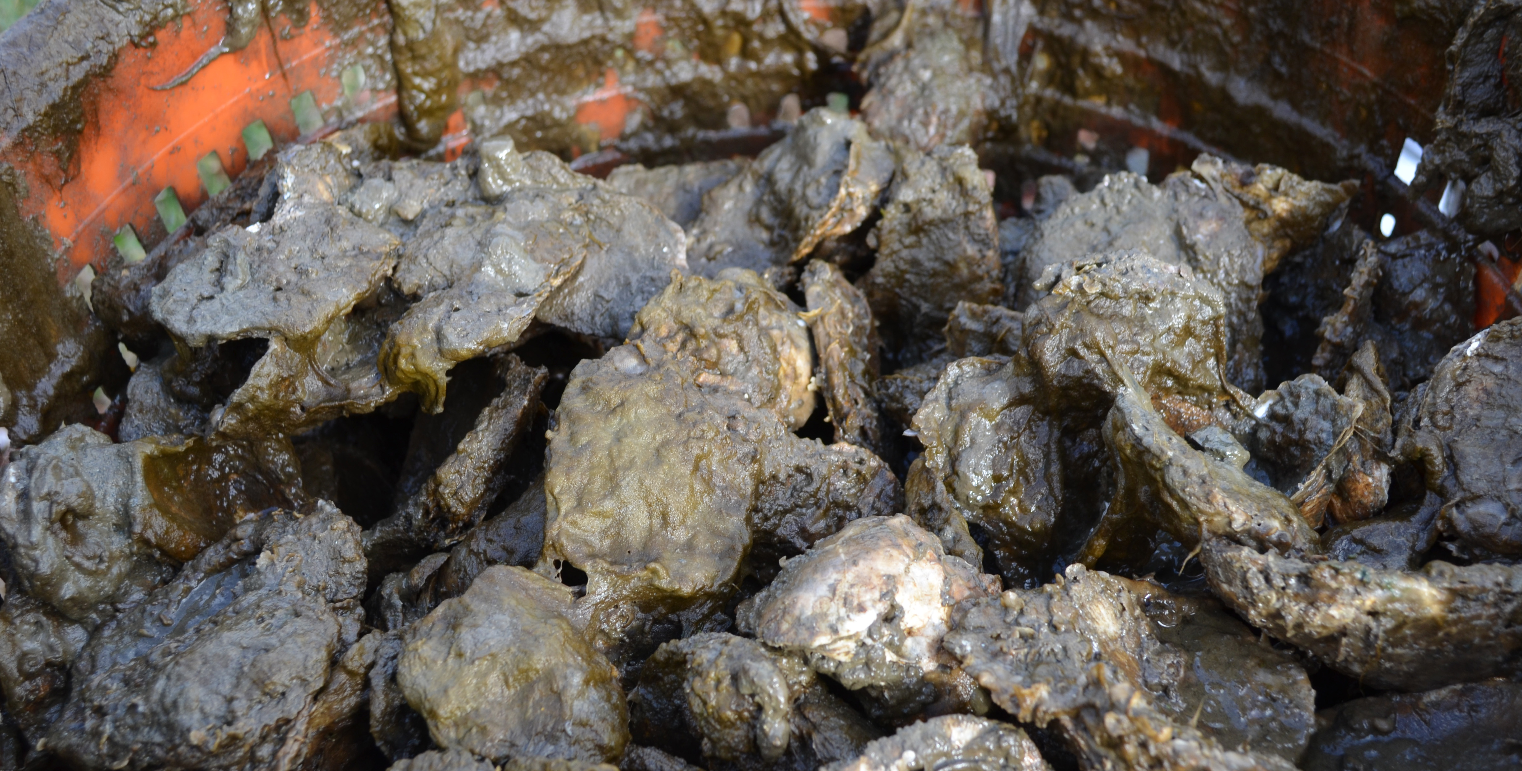 smelly oysters