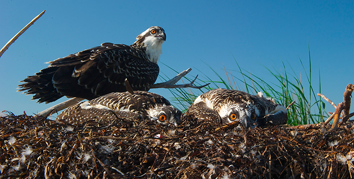 three orange-eyed osprey - Bill Portlock - 695x352