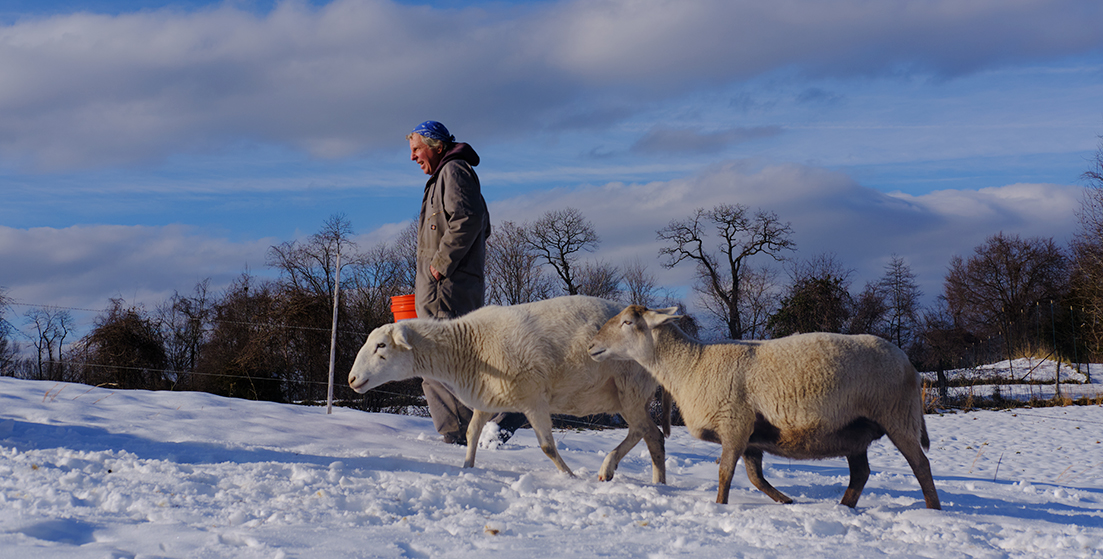 Farmer in snowy field with sheep