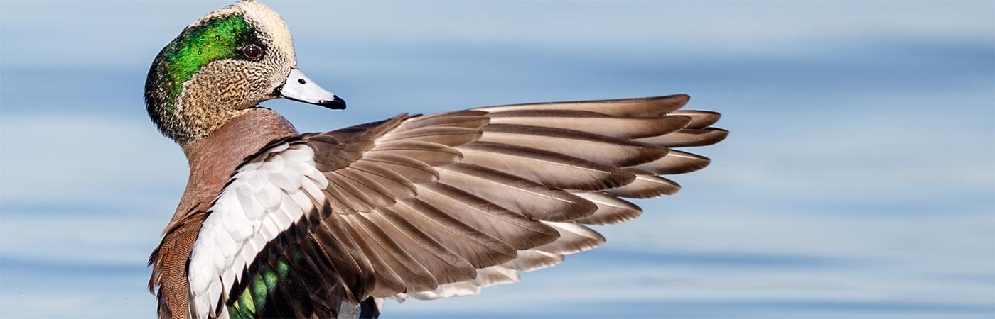 An American widgeon drake extends its wings in the classic pose of an orchestra conductor.