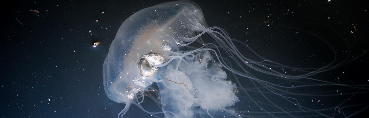 Image of a jellyfish with title