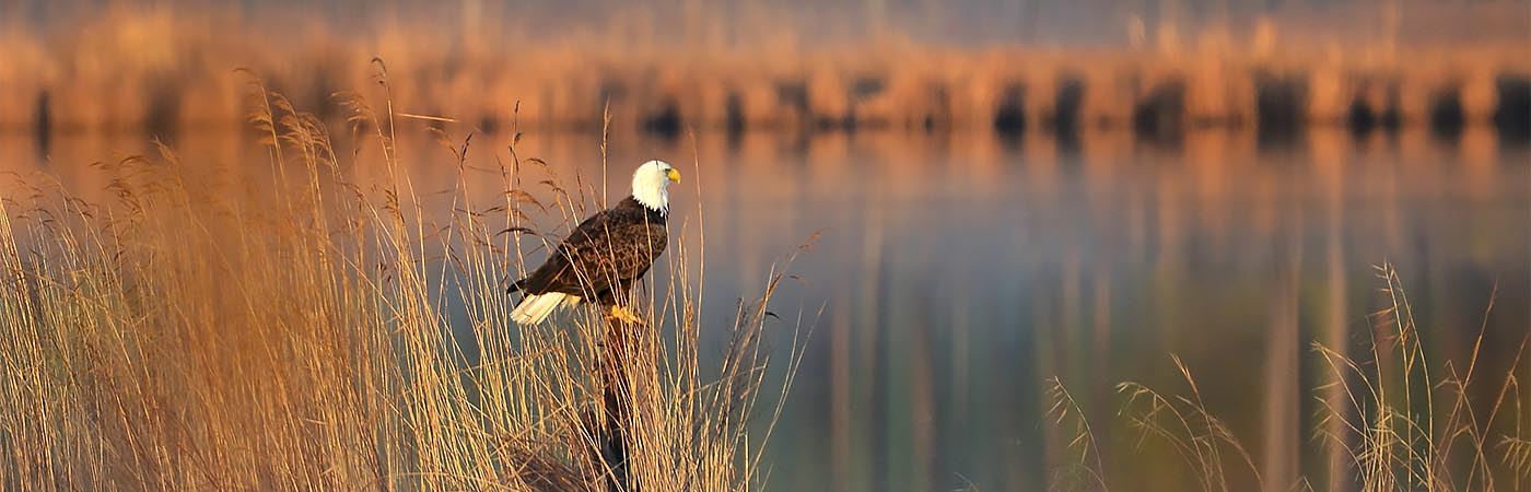 A bald eagle perches on a pole among tall grasses in the early morning light.