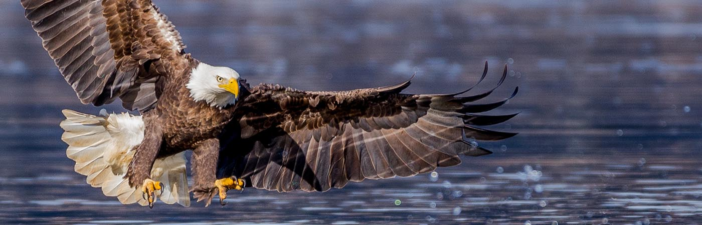 A bald eagle caught in flight above the water with its wings spread and talons open just before his catch.