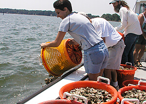 Photo of person tipping a basket of oysters over the side of a boat into the water.