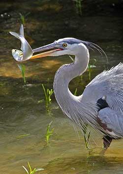 Heron catches fish