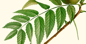 Leaves of black walnut.