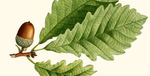 Leaf and acorn of chestnut oak.