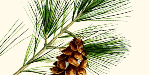 Branch of Eastern white pine.
