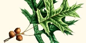 Leaf of pin oak.
