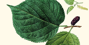 Leaf of red mulberry.