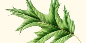 Leaf of red oak.