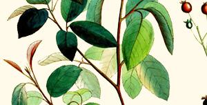 Leaf of serviceberry.