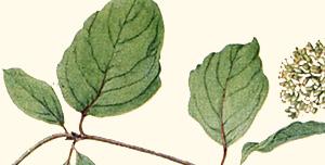 Leaf of silky dogwood.