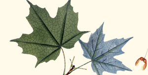 Leaf of silver maple.