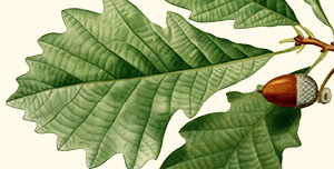Leaf of swamp white oak.