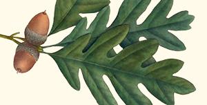 Leaf of white oak.