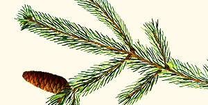 Branch of a white spruce.
