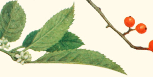 Leaves and berries of a winterberry tree.